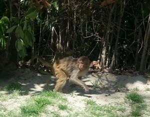 Monkey at Gokrana