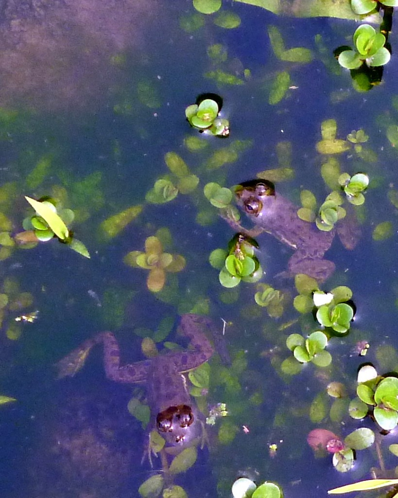 A puddle full of frogs